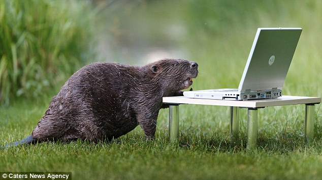 beaver and laptop